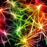 Nerves / synapses